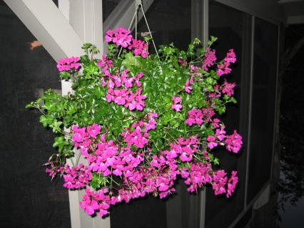 Hanging Ivey Geranium Baskets